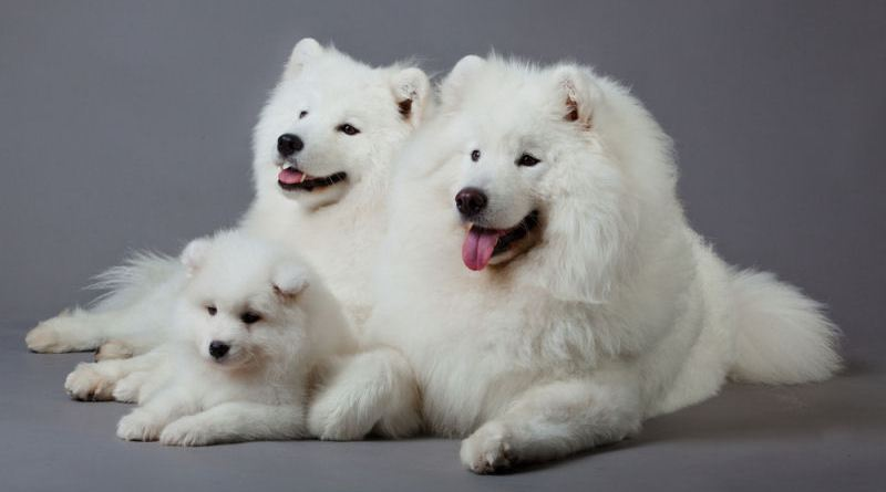 Introducing the Samoyed