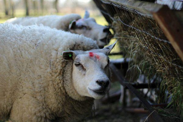 schapen mamas eten
