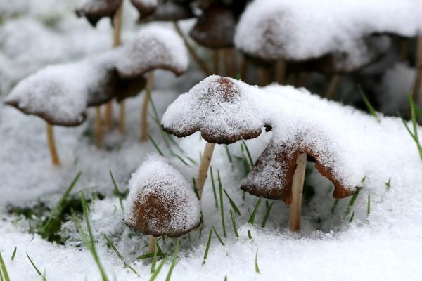 paddestoelen_in_de_sneeuw