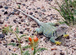 800px-Crotaphytus_collaris_-Petrified_Forest_National_Park,_Arizona,_USA-8