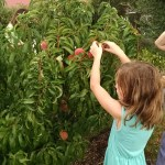 Photo of members picking peaches.