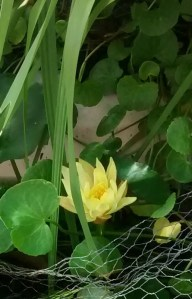 Photo of water lily flowering in the frog pond.