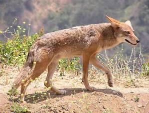 https://i1.wp.com/www.northshoredailypost.com/wp-content/uploads/2018/02/coyotes.jpg?fit=300%2C227&ssl=1