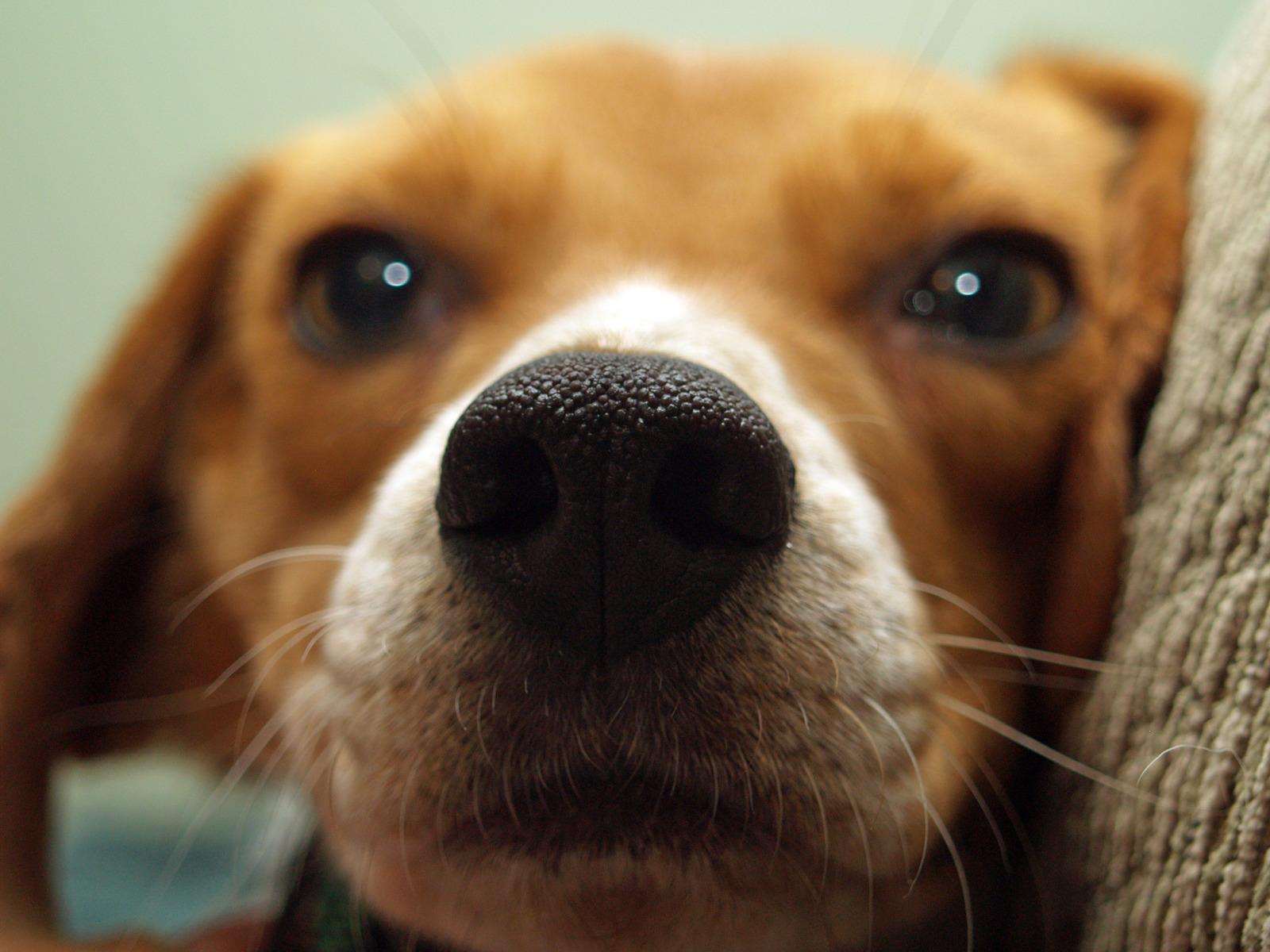 https://i1.wp.com/www.northshoredailypost.com/wp-content/uploads/2019/06/beagle.jpg?fit=1600%2C1200&ssl=1