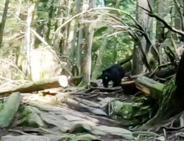 https://i1.wp.com/www.northshoredailypost.com/wp-content/uploads/2019/10/Bear-mount-symour.jpg?fit=762%2C587&ssl=1