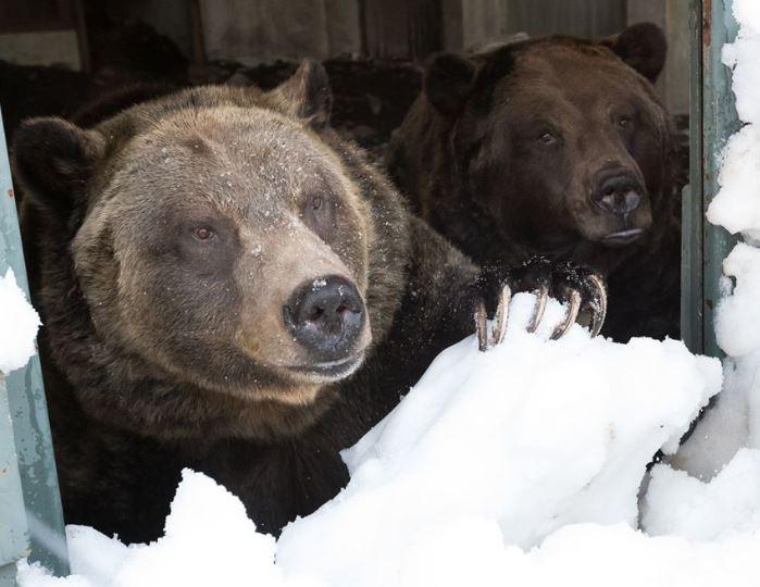 https://i1.wp.com/www.northshoredailypost.com/wp-content/uploads/2020/04/grizzly.jpg?fit=699%2C540&ssl=1