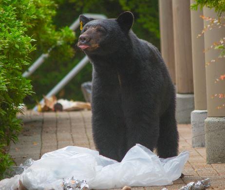 https://i1.wp.com/www.northshoredailypost.com/wp-content/uploads/2021/03/bears-2.jpg?fit=462%2C391&ssl=1