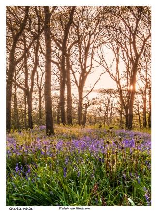 Bluebells near Windermere