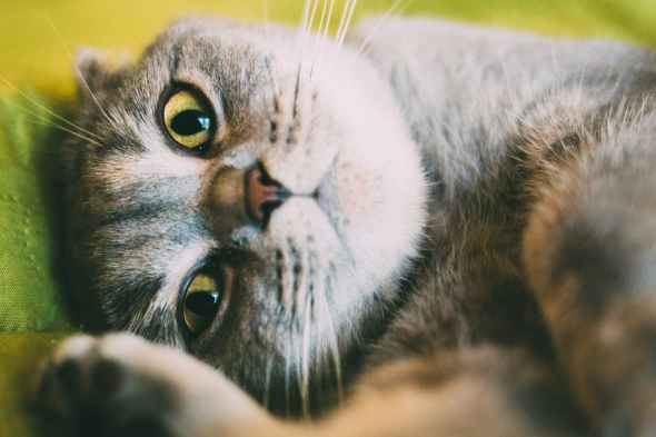 close up photo of gray cat lying down