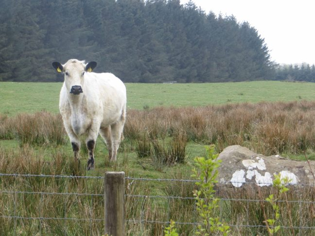 A rare breed White Galloway cow on Donkin Rigg.