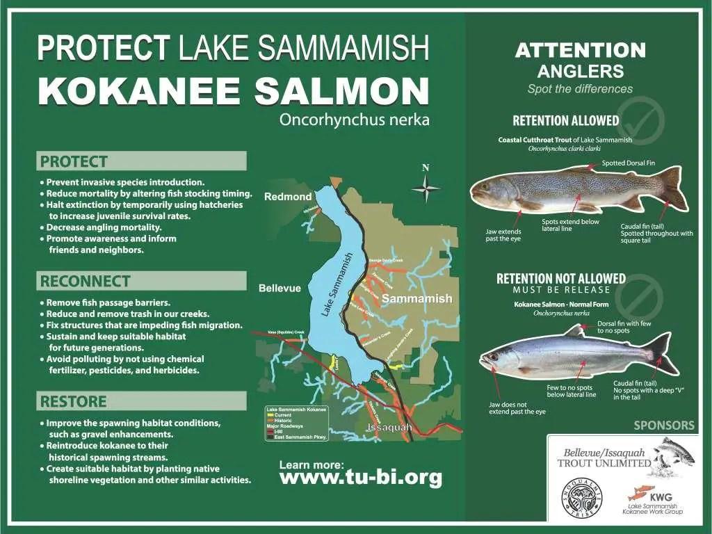 Kokanee Restoration In Lake Sammamish