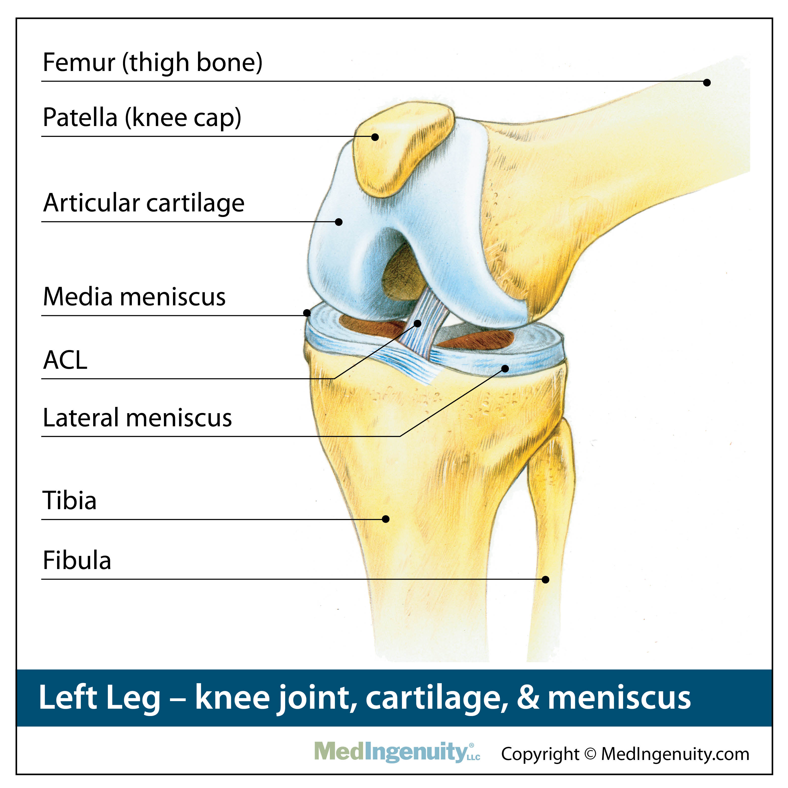 Orthopedic Anatomy Library