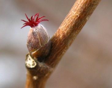 Beaked Hazelnut (Corylus cornuta) female flower cropped (JB)