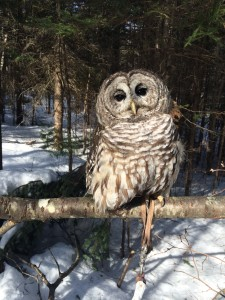 Oberon the barred owl soaks up some sun on a March day.