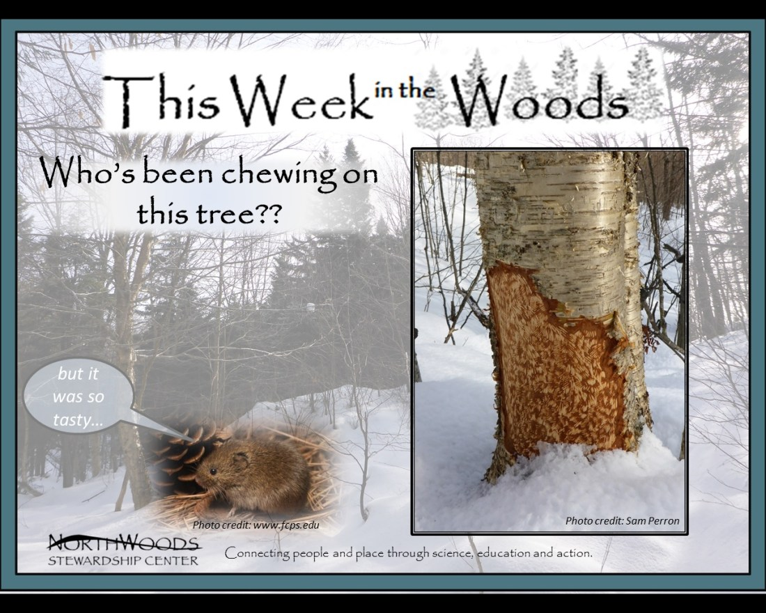 This Week in the Woods: Who's been chewing this tree?