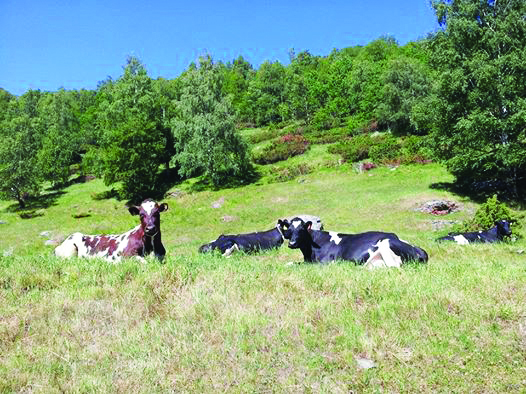 Photo: Heidi Frøise  Cows kicking back on their vacation.
