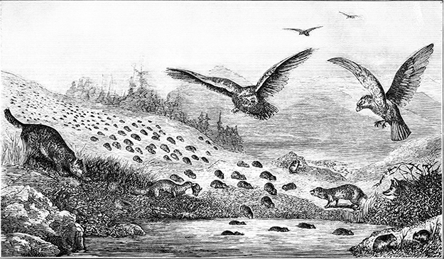 "Photo: Wikimedia Commons ""Lemmings in Migration,"" illustration from Popular Science Monthly in 1877."