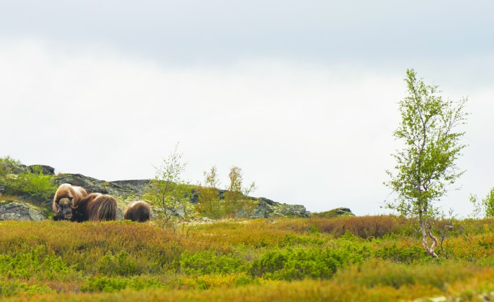 Photo: CH / Visitnorway.com Dovre's famous muskoxen, descended from the 10 animals released into the area in 1932.