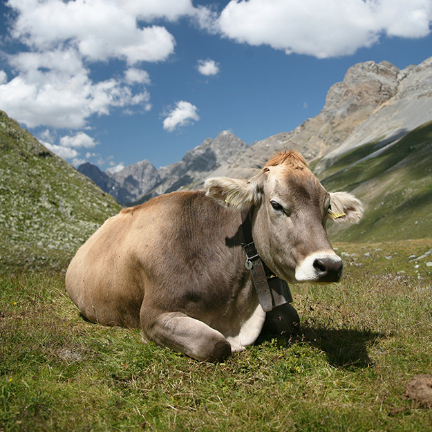 Photo: Daniel Schwen / Wikimedia Commons She looks innocent, but are the emissions of this cow's kind harming the environment?