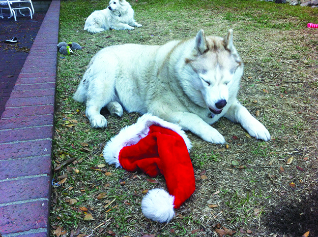 Photo: Judith Gabrriel Vinje Shame or satiety? This bad doggie has a belly full of Christmas spirit in the form of lefse.
