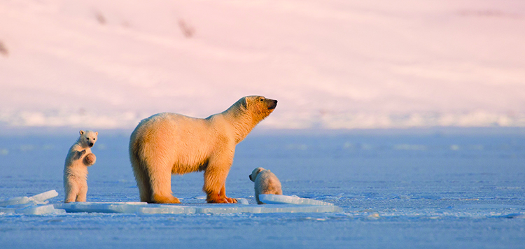 Photo:  Asgeir Helgestad / Artic Light AS / visitnorway.com Polar bears are a major attraction in Svalbard.