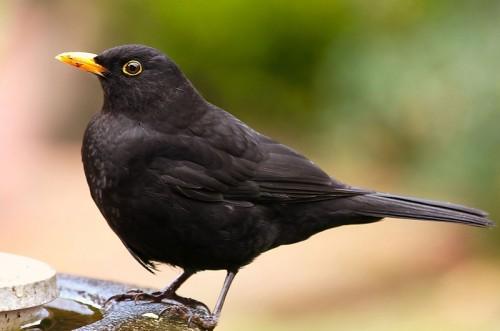 Photo: David Friel / Wikimedia Commons Male Blackbird (Turdus merula).