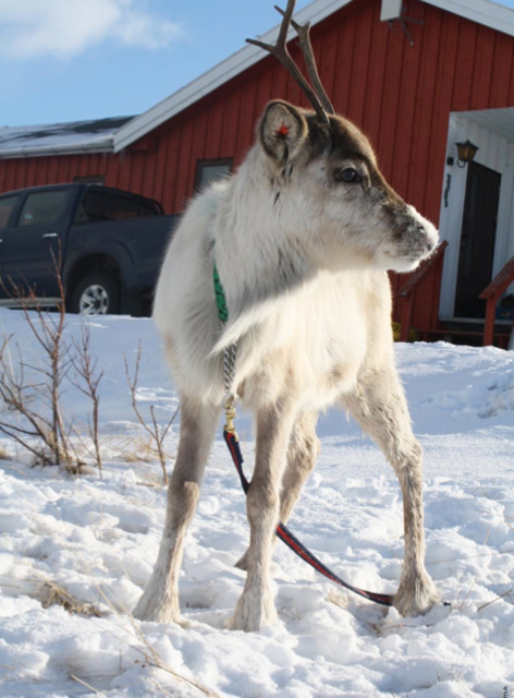Photo courtesy of Many Strong Voices: Annelaila Smuk n the Arctic, weather changes are hard on young reindeer, who must be strong to survive their first year.