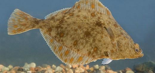 A flounder.