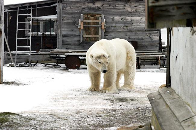 Arctic Safety Conference - polar bear