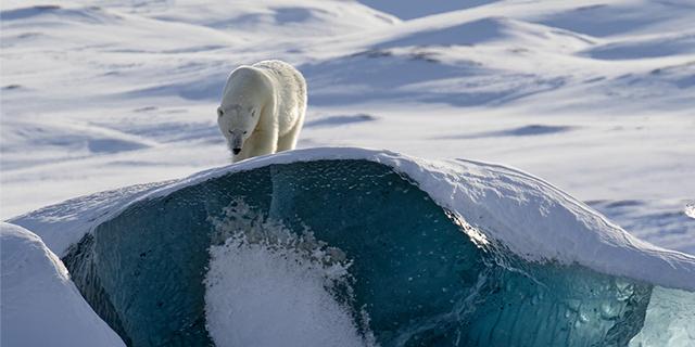 Polar tales - bear
