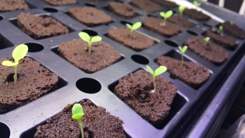 Sprouting seedlings in rapid rooter plugs
