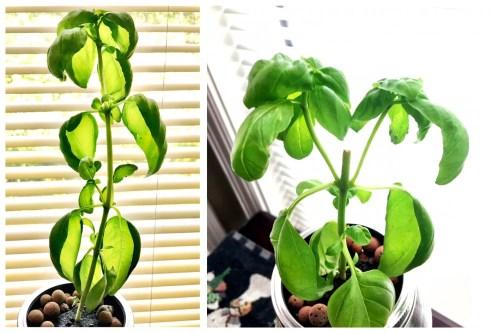 Aquaponic Basil Plant