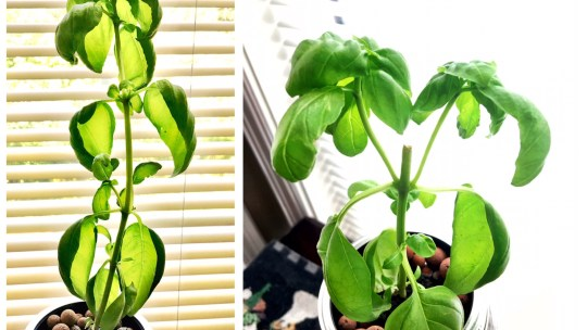 After pinching basil to increase growth