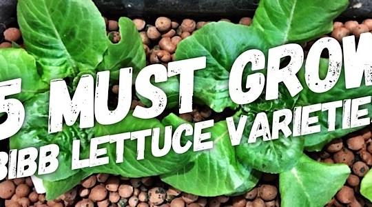 5 Bibb Lettuce Varieties You Need To Grow