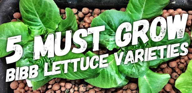 5 Bibb Lettuce Varieties You Need To Grow