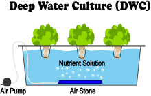 What Is Deep Water Culture (DWC) Hydroponics