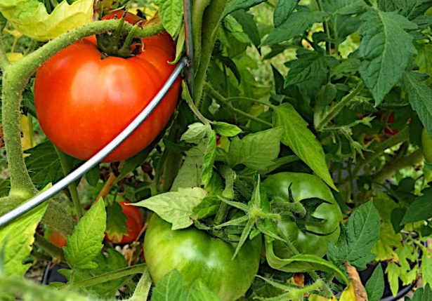 Hydroponic tomatoes starting to ripen