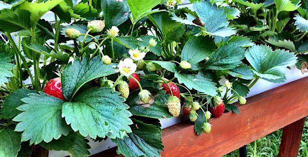 hydroponic strawberries
