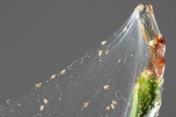 spider mites hydroponic garden
