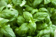 How To Grow Fresh Hydroponic Basil