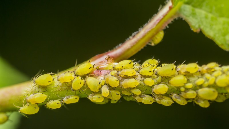 green aphids hydroponics