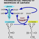 lactic acid production due to fermentation