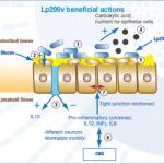 Actions of Lactobacillus plantarum