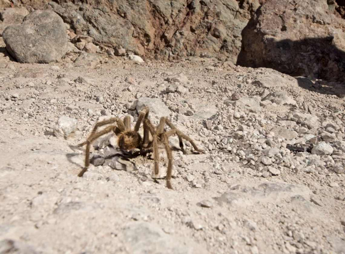 Tarantula on the trail near Calico Ghost Town