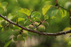 「梅の日」は梅を使ったお酒で気分をリフレッシュしよう