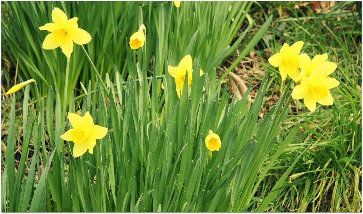 Notas sobre la primavera de los narcisos