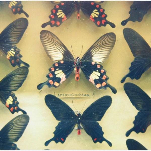 mariposas margaret fountaine
