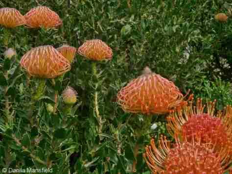 Kirstenbosch Gardens (15)