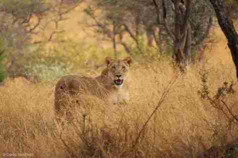 lion (9) (1280x852)