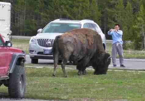WHAT NOT TO DO AROUND BISON!